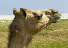 Camel at desert Royalty Free Stock Photos