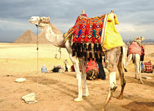 Camel on desert. Camel in front of pyramid ,Egypt Stock Images