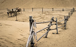 Camel and desert. It is going to rain in the desert of Kubuq, Inner Mongolia, China royalty free stock photography