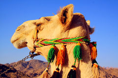 Camel in desert Stock Photo