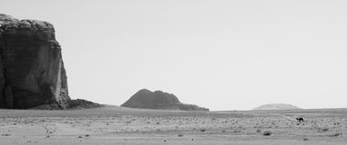 Camel in Desert. A lone wild camel roams on the desert floor of Wadi Rum Jordan Stock Photography
