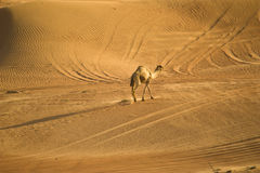 Camel in the desert. A camel walking in the desert, Dubai, United Arab Emirates royalty free stock images