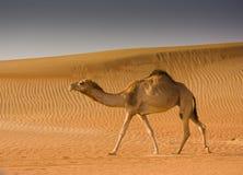Camel in the desert. Al Badayar, Dubai royalty free stock photo