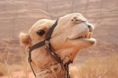 Camel in the desert Royalty Free Stock Photos