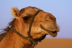 Camel at the desert Stock Images