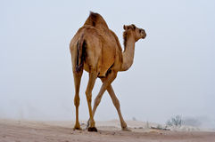 Camel in the desert. Royalty Free Stock Photography