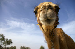 Camel in desert. Happy camel waiting for new caravana to start stock photo