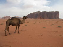 Camel in desert Royalty Free Stock Images