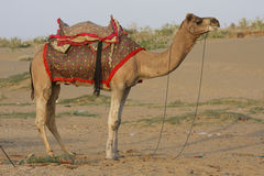 Camel in the desert Stock Images