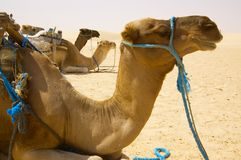 Camel in desert Stock Photography