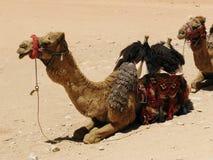 Camel in desert Royalty Free Stock Image