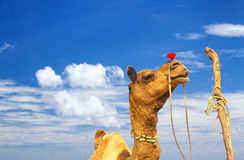 Camel in Desert Royalty Free Stock Photo