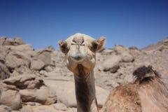 Camel in the desert. Against the blue sky Stock Photos