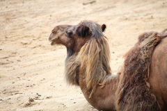 Camel in the desert animal Royalty Free Stock Images