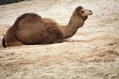 Camel in the desert animal Stock Photography