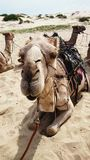 Camel on desert Royalty Free Stock Photos