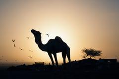 Camel in desert around birds Stock Photos
