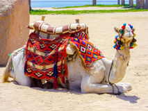 Camel on desert beach waiting for tourists Royalty Free Stock Photo