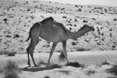 Camel in the desert in black and white royalty free stock photography