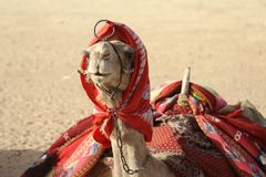 Camel in the desert. royalty free stock image