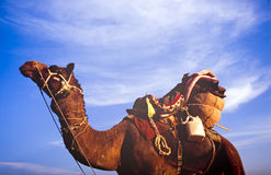 Desert Camel Royalty Free Stock Images