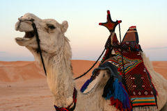 Camel in desert, close-up Stock Images