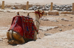 Camel in the desert Royalty Free Stock Photography
