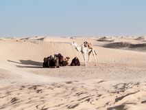 Camel rest near the dunes of Desert of Douz,Tunisia Royalty Free Stock Photo
