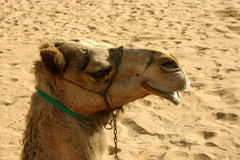 Camel in desert, dubai Royalty Free Stock Photo
