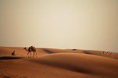 Camel in the desert. In Dubai Royalty Free Stock Photos