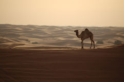 Camel in the desert. In Dubai royalty free stock photography