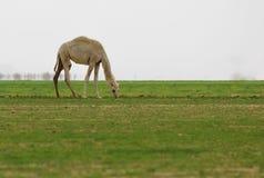 camel in a desert. stock photos