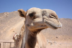 Camel in the desert. Camel head close up Royalty Free Stock Images