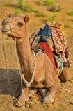 A camel in Desert,Jaisalmer, India royalty free stock photo