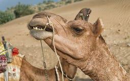 A camel in Desert,Jaisalmer, India. Camel during desert safari , Sam Sand Dune, Jaisalmer, Thar Desert, India stock image