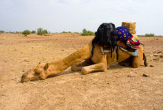 A camel in Desert,Jaisalmer, India Royalty Free Stock Photography