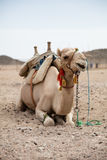 Camel in desert lanscape sunny Day. Location Stock Photo