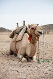 Camel in desert lanscape sunny Day Stock Photo