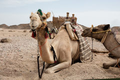 Camel in desert lanscape sunny Day. Location Stock Photography
