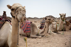 Camel in desert lanscape sunny Day Royalty Free Stock Photo
