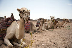Camel in desert lanscape sunny Day. Location Royalty Free Stock Photos
