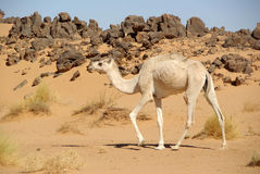Camel in the desert, Libya Stock Photos