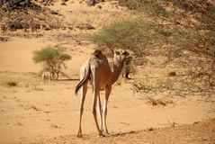 Camel in the desert, Libya Royalty Free Stock Photography