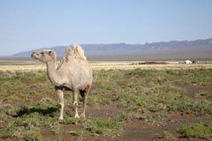 Camel and desert. A camel in Mongolia desert Stock Photography
