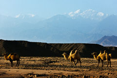 Camel in desert and mountain Royalty Free Stock Image