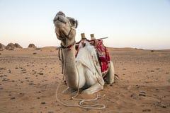 Camel resting in a desert near Meroe Pyramids in Sudan stock image