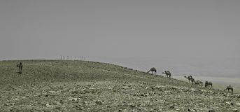 Camel  in the desert Negev, Israel Royalty Free Stock Image