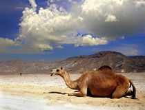 Camel on a desert of Oman. Camel resting at the desert Royalty Free Stock Photos