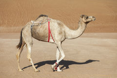 Camel in the desert of Oman Stock Photo