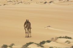 Camel on a desert Royalty Free Stock Images